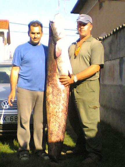 Galó Csaba 43 kg-os harcsája, 2008-ból
